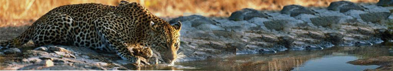 A Leopard at a waterhole in Kruger National Park